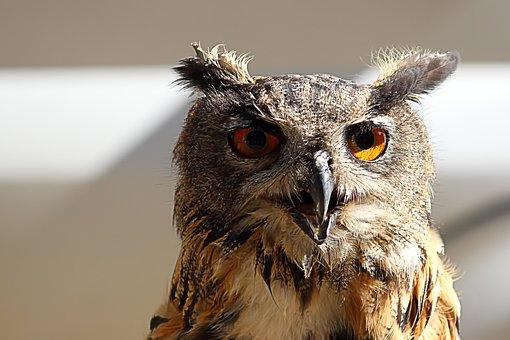 Eagle Owl, Owl, Bird, Raptor, Bird Of Prey