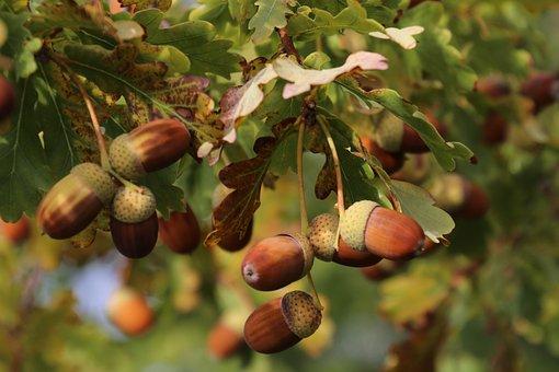 Acorns, Oak, Foliage, Tree, Park, In The Fall, Autumn