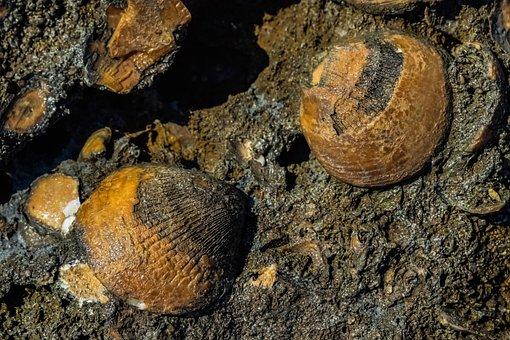 Fossil, Shell, Petrification, Petrified, Fossilized