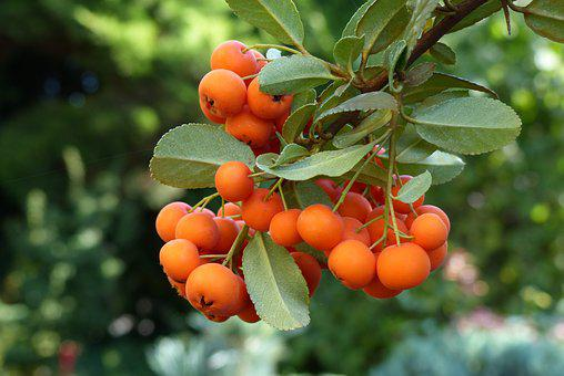 Rowan, Chaplet, Autumn, Sprig, Plant, Nature, Orange