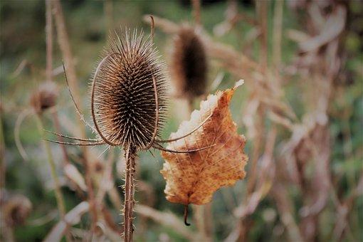 Autumn, Leaf, Nature, Fall Foliage, Prickly, Plant