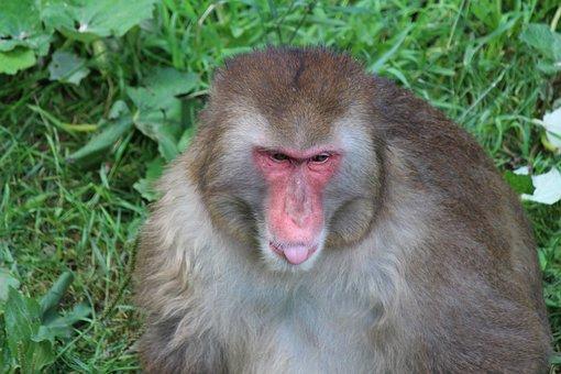 Monkey, Primate, Macaque, Mammals, Nature, Zoo, Monkeys