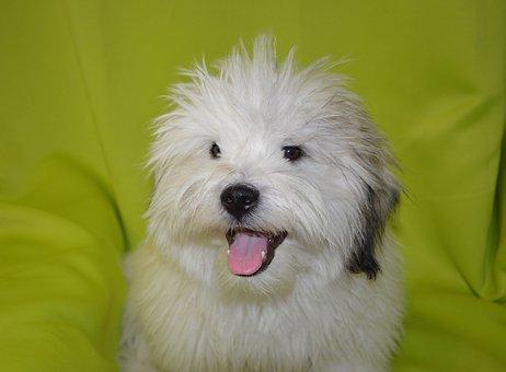 Dog, Pup, Dog Coton Tulear Storm Blue, Hair Long