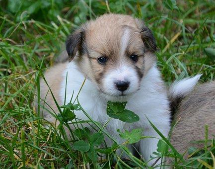 Puppy, Pup, Puppy Cross Cotton Shetland Sheepdog