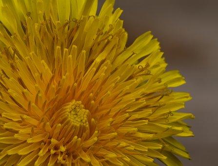 Dandelion, Flower, Nature, Plant, Close Up, Seeds