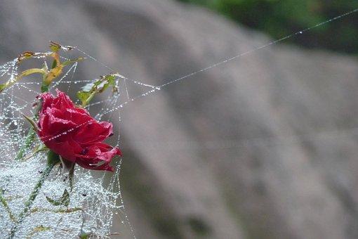 Rose, Dew, Spider Webs, Cobweb, Magic, Drip, Blossom