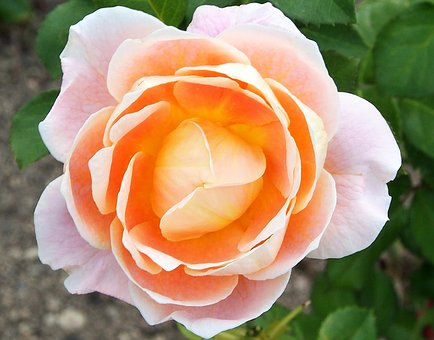 Rose, Marie Height, Apricot Colors, Tender