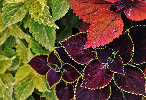 Three Colors, Colorful, Foliage, The Background, Leaf