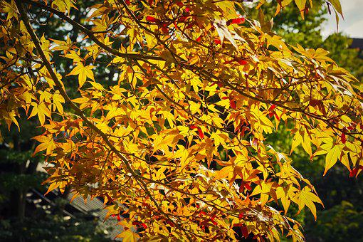 Maple, Tree, Nature, Leaves, Red, Plant, Flora, Wood