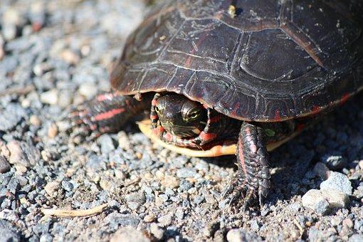 Turtle, Reptile, Carapace, Nature, Slowly, Creature