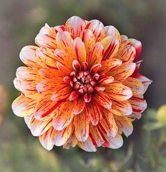 Dahlia, White, Red, Flower Garden