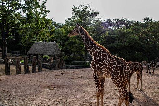 Giraffe, Zoo, Wild Animal, Animal, Stains, Pattern