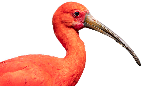 Scarlet Ibis, Bird, Nature, Crane, Beak, Ibis, Wildlife