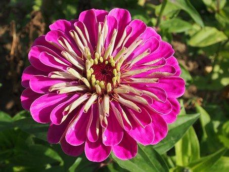 Pink, Zinien, Flower, Summer