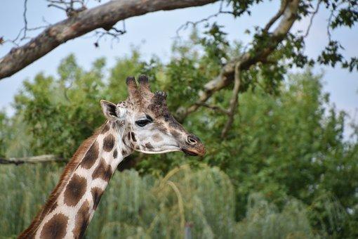 Giraffe, Nature, Animal, Wild, Africa, Mammals, Neck