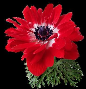 Anemone, Red, Flower, Plant, Garden, Nature