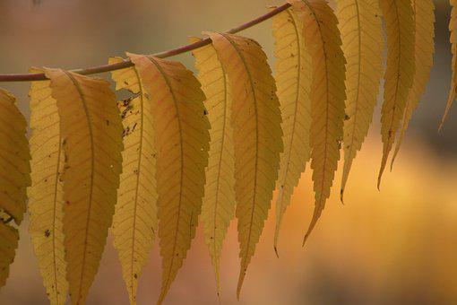 Autumn, Fall Color, Leaves, Yellow