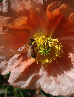 Bee, Insect, Poppy, Flower, Pollen, Nature