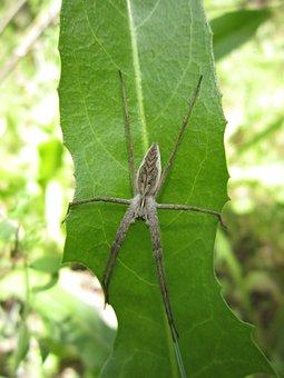 Spider, Bug, Garden, Field, Pisaura Mirabilis