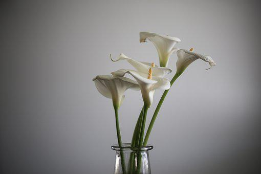 Calla Lily, Lily, Flower, Garden, Nature, White, Floral