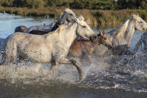 Ride, Cavalcade, Horses, Camargue, Nature, Mane