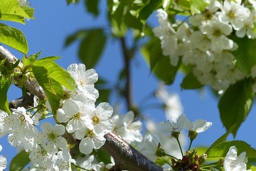 Cherry Blossoms, Blossom, Tree, Nature, Garden, White