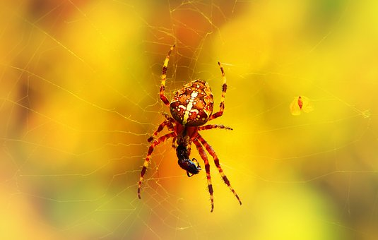 Crusader Garden, Arachnids, Insect, Victim, Food