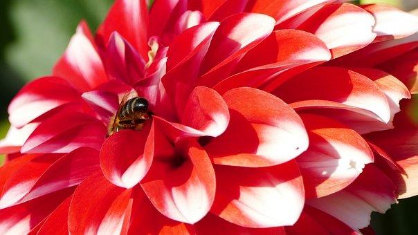Nature, Garden, Dahlia, Flower, Red