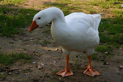 Pet, Goose, White, Poultry, Domestic Goose, Livestock