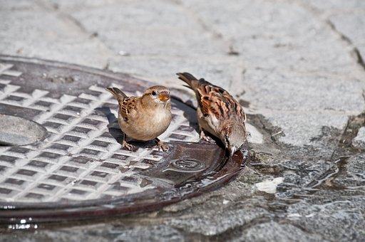 Bird, Sparrow, Nature, Animal, Drink, Water, Close Up