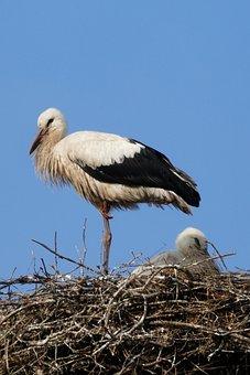 Stork, Bird, Nature, Plumage, Rattle Stork, Feather