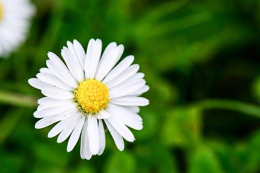 Flower, Blumen, Daisy, Gänseblümchen, Wiese, Field