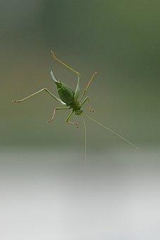 Gomphocerinae, Grasshopper, Field Grasshopper, Insect
