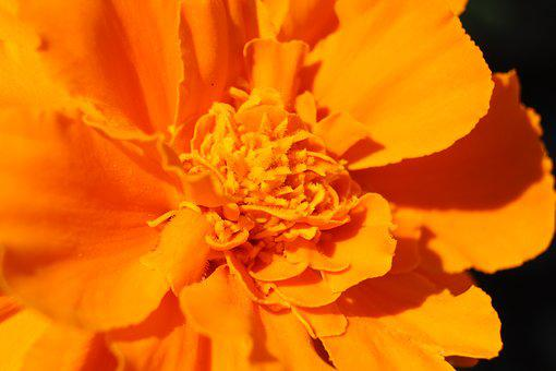 Marigold, Flower, Orange, Flora, Brisbane, Macro