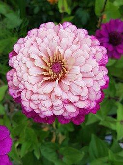 Zinie, Pink, Flower, Nature