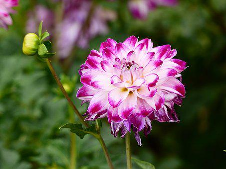 Dahlia, Flower, White With Purple, Plant, Bloom, Garden