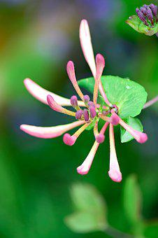Honeysuckle, Flowers, Garden, Summer, Green, Pink
