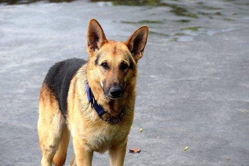 Dog, German Shepherd, Animal, Pet, Portrait, Head