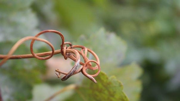 Loza, Garden, Autumn, Green, Grapes, Vineyard, Nature