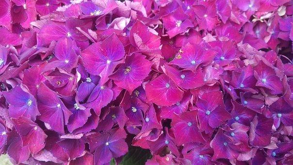 Hydrangeas, Hydrangea, Purple, Flower, Flowers