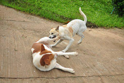 Dog, Play, Animals, Lovely, Pets, Puppy, Image