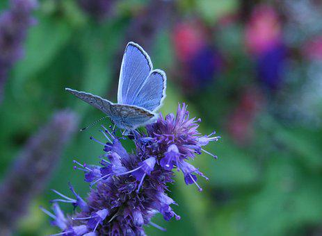 Insect, Butterfly, Common Blue, Blue