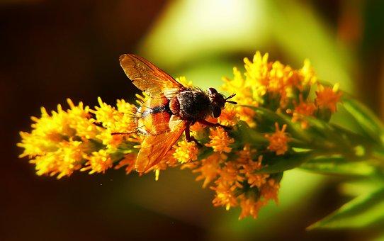 Rączyca Rusty, Insect, Muchówka, Flower, Animals