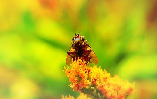 Rączyca Rusty, Insect, Muchówka, The Head Of The