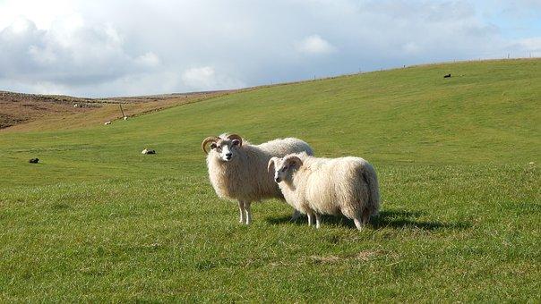 Sheep, Iceland, Wool, Livestock, Countryside, Landscape