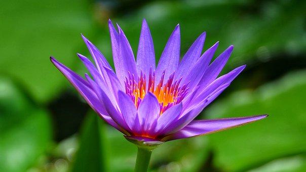 Flower, Plant, Blossom, Bloom, Water Lily, Lotus