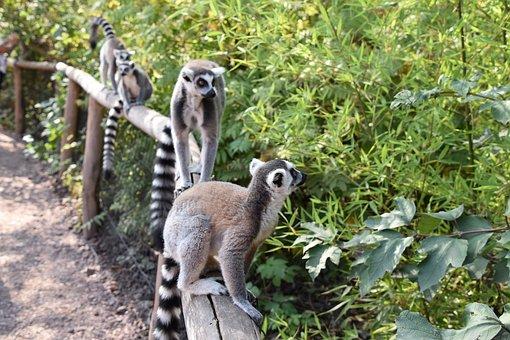 Lemur, Maki Catta, Stripes, Madagascar, Nature, Eyes