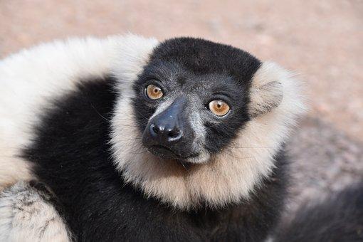 Lemur, Animal, Wild, Mammals, Madagascar, Nature