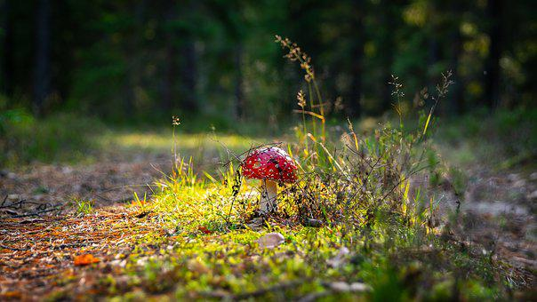 Amanita, Spotted, Red, Mushroom, Forest, Glade, Autumn