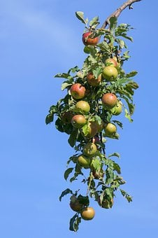 Apple, Branch, Apple Tree, Autumn, Nature, Healthy